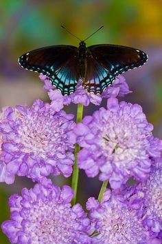 Red-Spotted Purple Butterfly (Limenitis astyanax) perching on purple pincushion flower (Scabiosa)