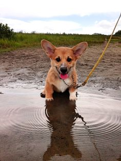 Some of the things we adore about the Pembroke Welsh Corgis Dogs Corgi Funny, Cute Corgi, Cute Puppies, Dogs And Puppies, Pembroke Welsh Corgi Puppies, Corgi Dog, Husky Puppy, Fluffy Corgi, Pets