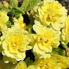 Double yellow primulas