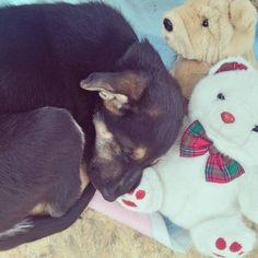 3. Day: Meeting new friends!   #gsp #germanshepherd #dog #dogstagram #blackfur #purebred #teddybear #Puppy #dailydosage #puppylife #slepice #snorting #tired #Caesar #Juliuscaesar  #soft #softtoy #teddy #bear #czech #cute #morning #goodmorning
