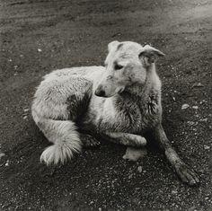 Peter Hujar, Scruffy Dog, 1978