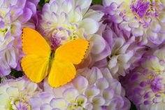 Butterfly Photos - Yellow butterfly on dahlias by Garry Gay