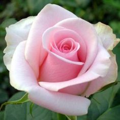 Beautiful Rose Flowers, Flowers Nature, Exotic Flowers, Beautiful Flowers, Purple Roses, Pink Flowers, Cut Flowers, Pale Pink, Rose Reference