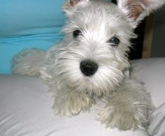 white  min schnauzer!? adorable