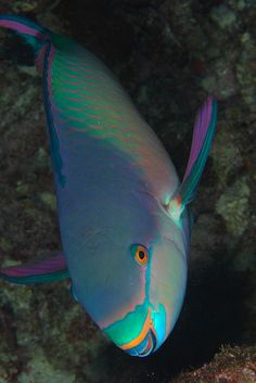 I spotted a Parrot Fish just like this one in Mexico, it is my favorite fish
