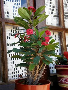 Crown of Thorns (Euphorbia Milii) da coltivare in casa Cacti And Succulents, Planting Succulents, Cactus Plants, Planting Flowers, Air Plants, Indoor Plants, Crown Of Thorns Plant, Euphorbia Milii, Garden Animals