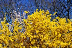 Forsythia is a favorite shrub in the spring landscape with its cheery yellow flowers that bloom before most other trees and shrubs. Forsythia bloom is one of the first hopeful signs of spring, which is undoubtedly why it is so widely planted. Pruning Forsythia, Forsythia Bush, Pruning Shrubs, Tall Shrubs, Trees And Shrubs, Flowering Trees, Fast Growing Shrubs, Small Yellow Flowers, Old Farmers Almanac