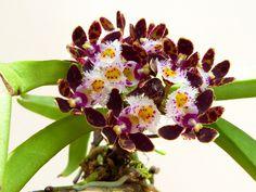 ガストロキラス ベリナス  今年の東京ドームで東南アジアの蘭屋さんから買いました。その時すでにつぼみが着いていたのですが咲くまでに約3ヶ月掛かりました...