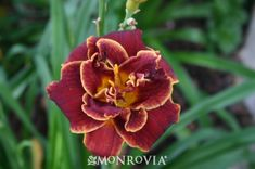 Monrovia's Night Embers Daylily details and information. Learn more about Monrovia plants and best practices for best possible plant performance.