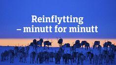 Rentiere, Norwegen, Lappland, Migration, Frühjahrsmarsch, Slow TV, Reinflytting, Tiere, Schnee
