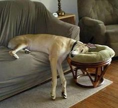 Ha, ha Pam!  This is not far off at all:0)  Greyhounds can sleep anywhere, in any position. The quintessential 45-mile an hour couch potato!!