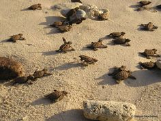 Hawkbill Turtle hatchlings heading out to sea. Cousin Island, Seychelles