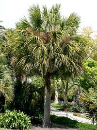 Perfect for Californians! Palm Tree Care Pick the perfect palm tree for your yard and use our guide to ensure success after planting. Florida Landscaping, Florida Gardening, Tropical Landscaping, Tropical Garden, Tropical Plants, Landscaping Ideas, Southern Landscaping, Palm Plants, Florida Plants