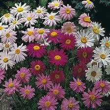 Pyrethrum Chrysanthemums- AKA: Mums specifically the ones that look like Daisies!  These are the be all end all of pests! According to wiki.answers these cute little flowers repel: Roaches, fleas, ticks, bedbugs, lice, silverfish, ants, and so much more!