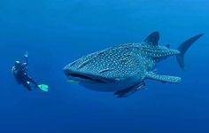 A diver photographing a whale shark. Image by Jones/ Shimlock-Secret Sea Visions / Getty Images.