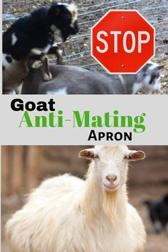 Keep your bucks and does together without unwanted breeding. Use (or make your own) goat anti-mating apron. Avoids urine scald and early weaning. Garden Animals, Farm Animals, Breeding Goats, Small Goat, Aprons For Sale, Barn Stalls, Farm Projects, Goat Farming, Just Kidding