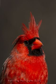 Crowned Northern Cardinal  The wind today was blowing the feathers on the head of this Northern Cardinal in Burlington, Ontario giving him a regal look  Photo by David King