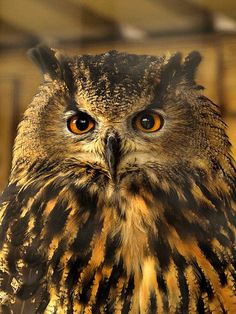 Eagle Owl portrait 269 | Flickr - Photo Sharing!