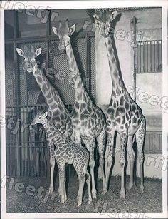1955 Paris France Baby Giraffe Zizi & Parents Press Photo rkf10619
