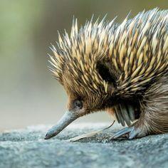 "AUSTRALIAN FLASHCARDS on Instagram: ""This little mammal is a cutie 😍 📷 @walkaboutpark #echidna #cute #walkaboutpark #thisisthecentralcoast #ccaustralia #newsouthwales…"""