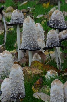Shaggy Ink-cap mushrooms (Coprinus Comatus)