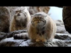 Pallas's Cat (Otocolobus manul or Felis manul), also known as the Manul