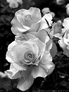 Beautiful Roses   ~ black and white