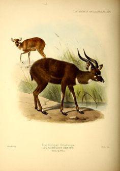 Tragelaphus spekii gratus
