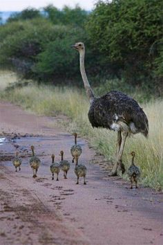 Baby ostriches are adorable Animals And Pets, Baby Animals, Funny Animals, Cute Animals, Pretty Birds, Beautiful Birds, Animals Beautiful, Beautiful Family, Photo Animaliere