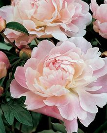 Fragrant Shirley Temple Double Peony
