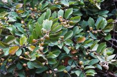 Grewia Flavescens fruit and leaves         Rough-leaved Raisin/Sandpaper Raisin       Skurweblaarrosyntjie        5 m      S A no 459,2