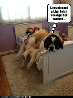 Get Your Own Bed, Sheesh #dog #humor #Saint #Bernard