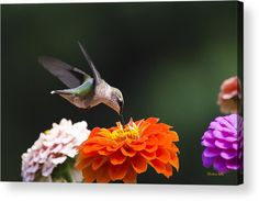 Hummingbird In Flight With Orange Zinnia Flower Acrylic Print by Christina Rollo.  All acrylic prints are professionally printed, packaged, and shipped within 3 - 4 business days and delivered ready-to-hang on your wall. Choose from multiple sizes and mounting options.