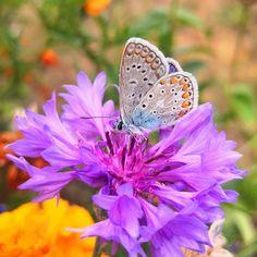 Azuré du serpolet  #igersniort #igersfrance #igersnouvelleaquitaine #igersdeuxsevres #igers #charentetourisme #flower #papillon #butterfly  #etod79_16 #etod79_flower #etod79_garden #etod79_holiday #etod79_ Papillon Butterfly, Album, Instagram, Card Book