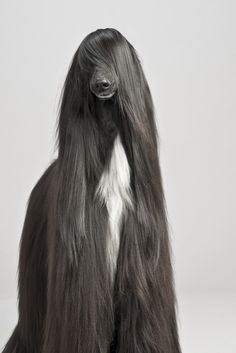 afghan hound/Friends of ours yrs ago  had a blonde afghan named Farah after Farah Faucet-the hair looked like hers.