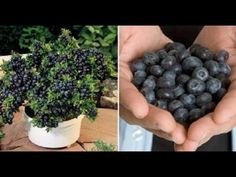 How To Grow Your Own Endless Supply Of Blueberries At Home - YouTube