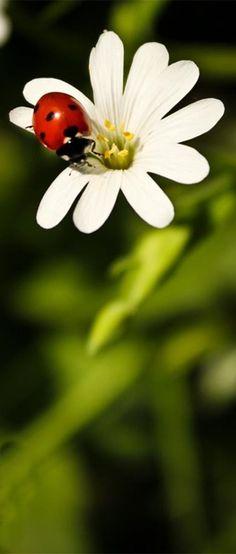# ladybug # Lady Bug, Love Flowers, My Flower, Bugs, Bug Off, Garden Fountains, True Nature, Macro Photography, Amazing Nature