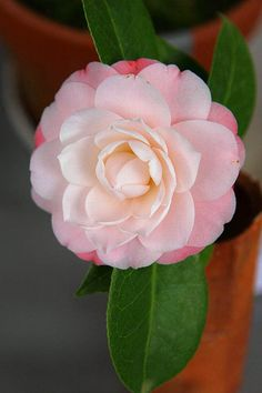 Camellia japonica 'Queen Diana' AKA 'Diana's Charm' (New Zealand, 1985)