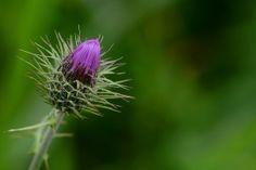 /Flor do cardo Dandelion, Herbs, Flowers, Plants, Frames, Frases, Exotic Flowers, Dandelions, Herb