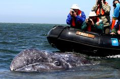 Gray Whale Encounters. Baja, Mexico. AFAR Highlight by Becky Timbers.