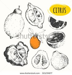 Sketch of citrus. Set of hand drawn food. Fresh organic food. Vector illustration with sketch of orange, bergamot, lemon, kumquats. Black and white.