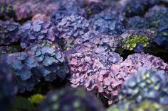 purple hydrangeas   Description Purple-hydrangea-blue - West Virginia - ForestWander.jpg