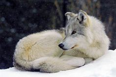 Winter Wolf at Rest