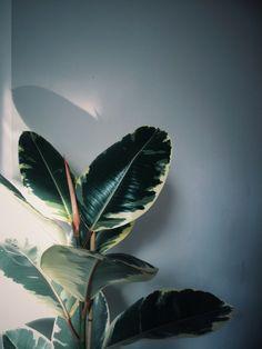Ficus Elastica /// www.botanicstilllife.com