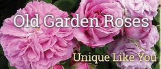 Old Garden Roses - Unique Like You