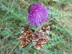 butterflies - null