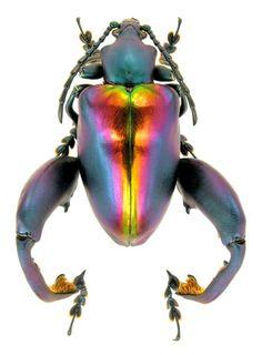 expecttheunexpectedtoday:  expecttheunexpectedtoday The Frog-legged Leaf Beetle / Sagra Buqueti