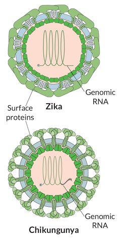 Mosquitoes carry several harmful viruses—dengue, Zika, chikungunya. Vaccines may be the best means of defense.