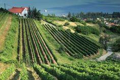Vineyard in Badacsony, Hungary.