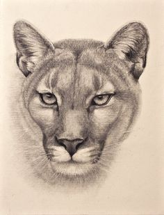 Graphite drawing of a cougar. Ref photo courtesy of Jenny Dalleywater - PMP